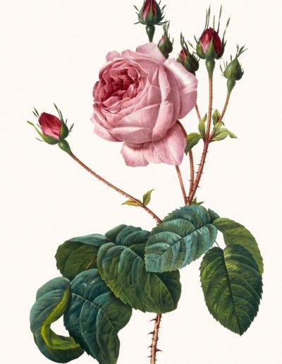 Репродукция картина - роза_2