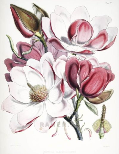 magnolia-campbellii Репродукция картина -