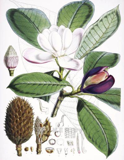 magnolia-hodgsonii Репродукция картина