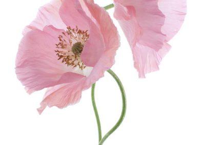 Репродукция картина - Розовый мак