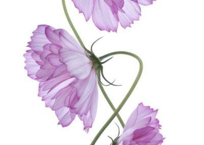 Репродукция картина - Фиолетовая космея